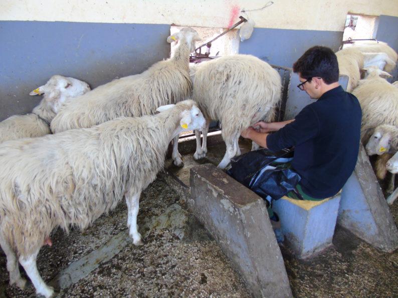Un momento della mungitura eseguita da Calogero Cangemi (junior) presso l'ovile del Caseificio Cangemi di Partanna (TP)