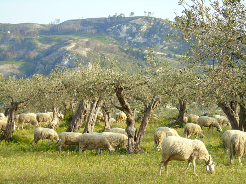 Un momento del pascolo delle Pecore di razza Valle del Belìce, presso l'Azienda Caseificio Cangemi