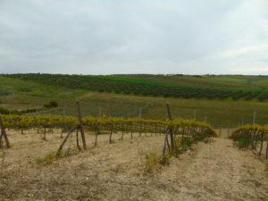 """Uno dei terreni a vigneto dell'Azienda Agricola """"Casale del Frate"""""""